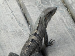 Iggy, the friendly Iguana, greets you at his beachside cafe