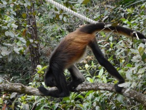 The Spider Monkeys went head-over-heels for me...in a tree!