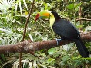The Keel-Billed Toucan is Belize's National Bird. All of the animals in this Zoo are rescued or injured, or former pets; which can't survive in the wild.